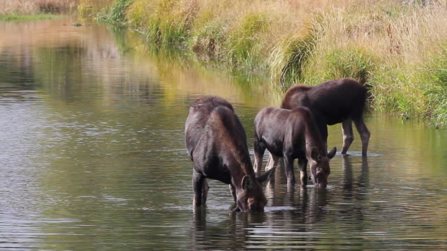ms cow moose with twins of year feedind in snake river / tetons, wyoming, united states - スネーク川点の映像素材/bロール