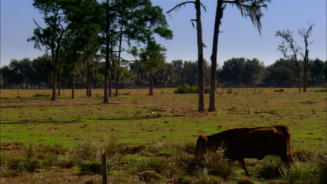 MS, Cow on field, Sebring, Florida, USA