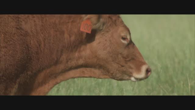 CU, PAN, Cow on pasture, headshot