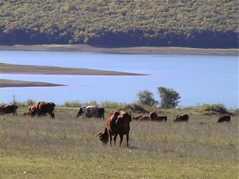 vidéos et rushes de vache sur la prairie - groupe moyen d'animaux