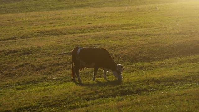 vídeos de stock, filmes e b-roll de vaca no pasto - vídeo de estoque - província de ulster