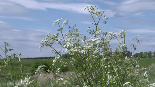 Cow parsley swaying in the wind