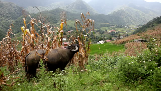cow peacefully eating in ricefield in sa pa, vietnam - sa pa stock videos and b-roll footage