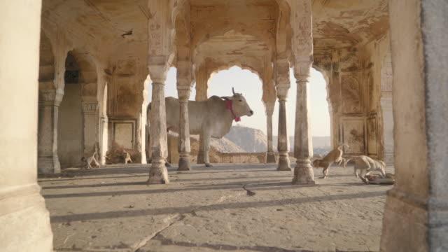 vídeos y material grabado en eventos de stock de cow placidly stands in historic building as monkeys play around it - hinduismo
