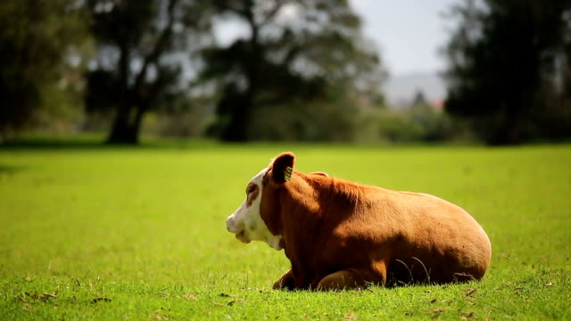 cow resting - cattle stock videos & royalty-free footage