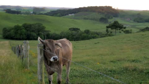 cow scratching - cow stock videos & royalty-free footage