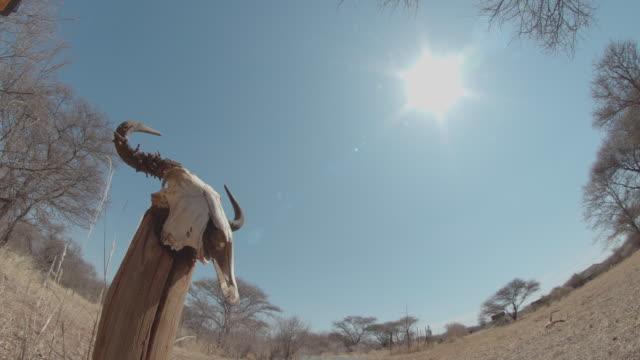 vidéos et rushes de cow skull / africa - plaque de montage fixe
