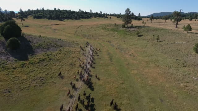 drone cow stampede overhead tracking - 4k drone tracking aerial view wildlife herd hunting, deer, elk, bison, hawk, buck, cows, bird, buffalo, directors choice, editors choice, magic hour, sun flare, grassland, epic - bird hunting stock videos & royalty-free footage