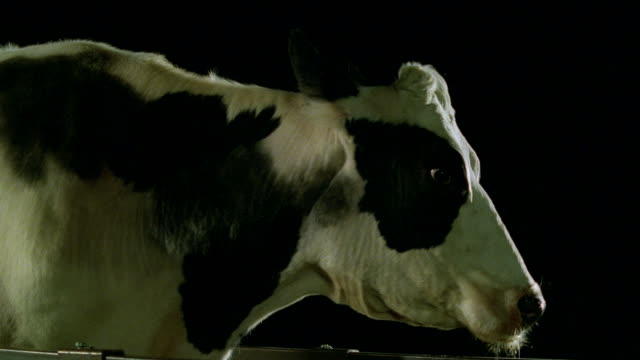 a cow standing out in the dark turns its head. - hd format stock videos & royalty-free footage