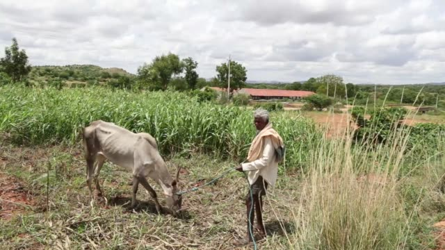 vidéos et rushes de a cow stands in a millet field on the outskirts of bengaluru india on friday june 9 a farmer stands with a cow in a millet field a farmer works in a... - peuple du sous continent indien