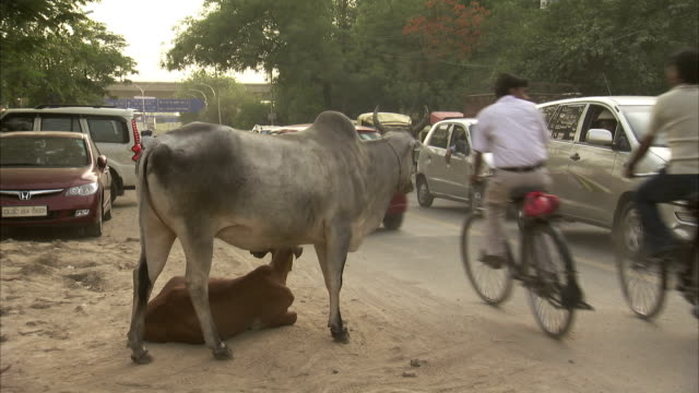 a cow stands over her calf in the road as traffic speeds past. - delhi stock videos & royalty-free footage