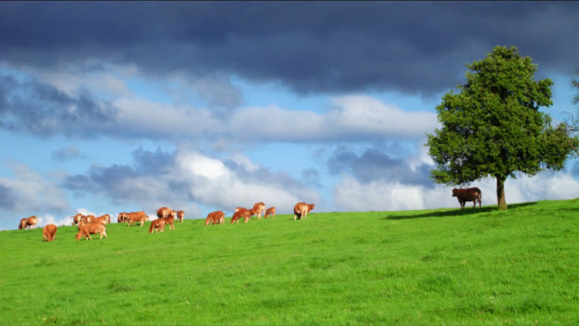 A cow stands under the shade of a tree as the herd grazes in a green meadow.