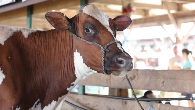 vídeos de stock e filmes b-roll de a cow staring at the camera at the delaware county fair - mamífero ungulado
