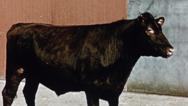 vidéos et rushes de 1975 ws cow successfully raised on home produced grass and silage / united kingdom - vache