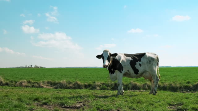 cow - milk cow stock videos & royalty-free footage