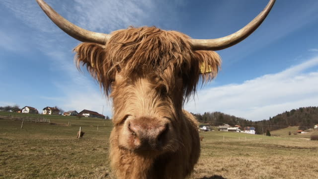 cow - horned stock videos & royalty-free footage