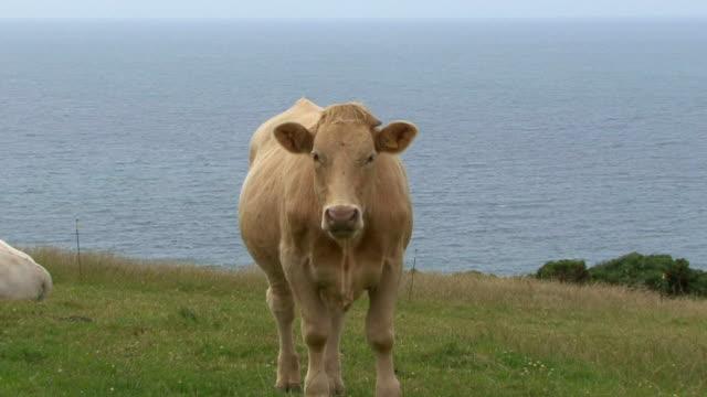 vidéos et rushes de de vache - effet de zoom