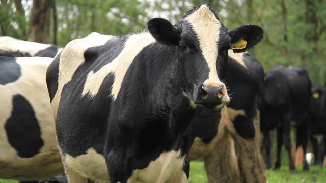 vídeos de stock e filmes b-roll de vaca - gado holstein friesian