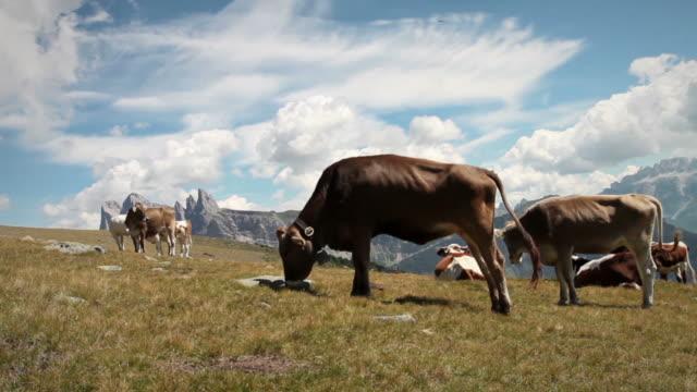 vidéos et rushes de vache marche et brouter avec audio - audio disponible en ligne