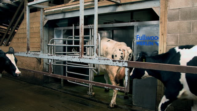 cow walking into an automatic milking system and being milked by a robot - medium group of animals stock videos & royalty-free footage