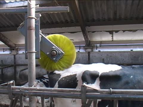 stockvideo's en b-roll-footage met cow wash - borstelen