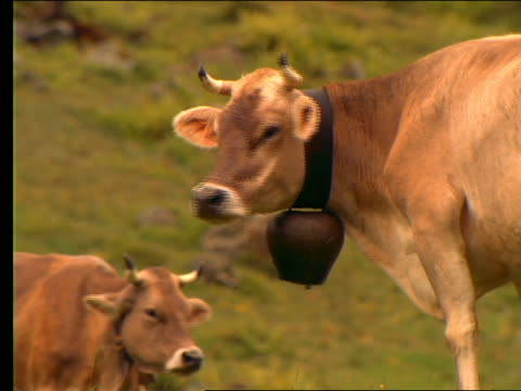 cow with large bell around neck eating + mooing /switzerland - herbivorous stock videos & royalty-free footage