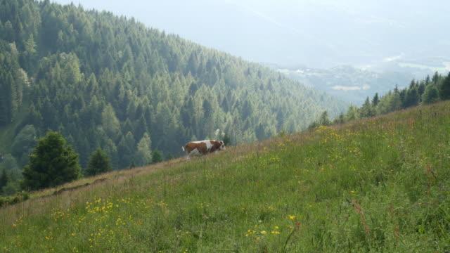 vídeos y material grabado en eventos de stock de vaca con manchas blancas y marrones mira hacia la cámara y luego camina tranquilamente a lo largo del camino de la montaña, bienestar animal, vídeo de cría no intensiva 4k - granja ecológica