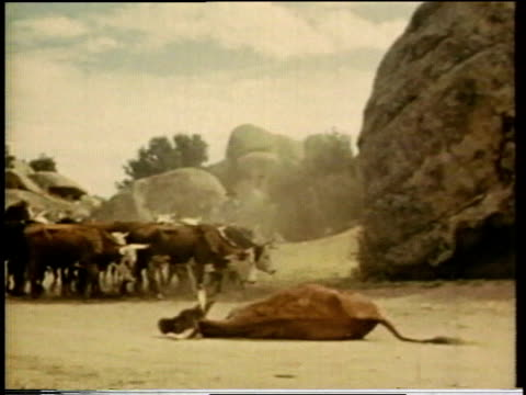 1941 ws cowboy driving a herd of cattle past a dead steer lying on ground / united states  - livestock stock videos & royalty-free footage