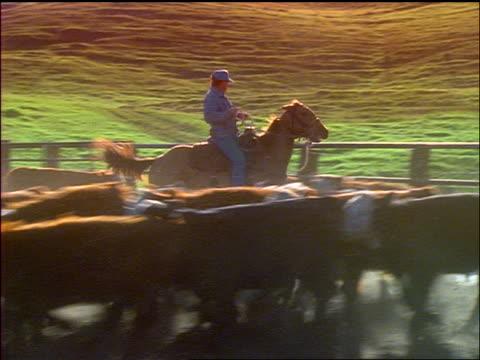 cowboy (paniolo) herding cattle in corral / parker ranch, kamuela, waimea, hawaii - herbivorous stock videos & royalty-free footage