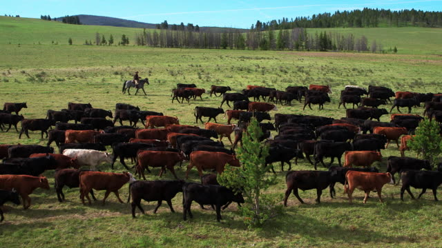 cowboy herding cattle on horse - cattle stock videos & royalty-free footage