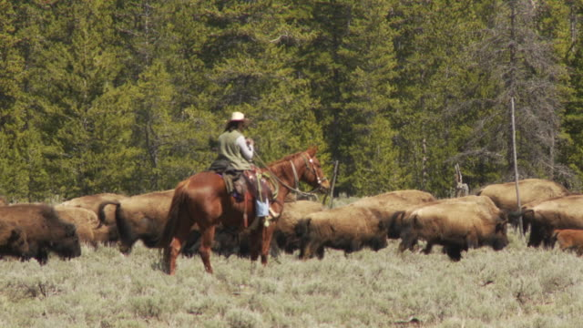 A cowboy herds bison across a field.