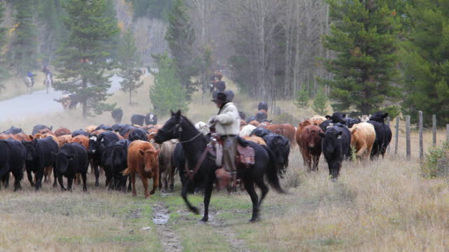Cowboy leading cattle drive