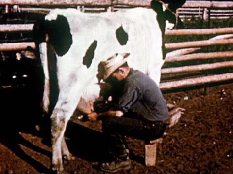 1950 cowboy milking cow in corral / Gunnison, Colorado / audio