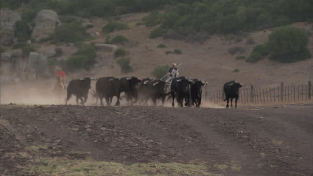 a cowboy on horseback follows running bulls down a dusty trail on a ranch in tarifa, spain. - cattle stock videos & royalty-free footage