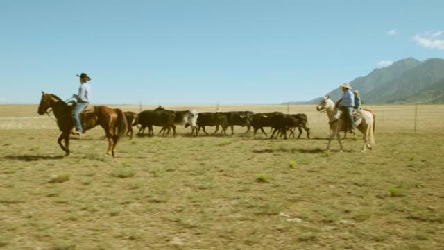 stockvideo's en b-roll-footage met cowboy ranchers werken vee - prairie
