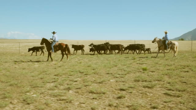 cowboy ranchers working cattle - rancher stock videos & royalty-free footage