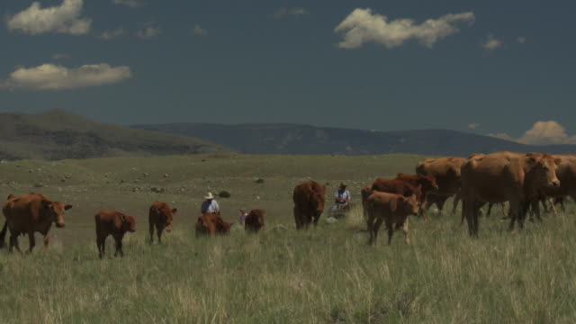 a cowboy rides a horse as cows walk through the grass during a cattle drive. - cattle drive stock videos & royalty-free footage