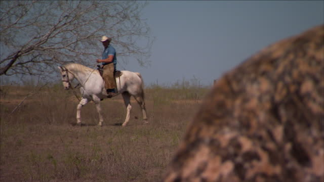 stockvideo's en b-roll-footage met a cowboy rides a white horse near a spotted longhorn on a dallas ranch. - texas longhorn
