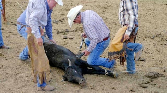 Cowboy Roping Kuh für das Branding