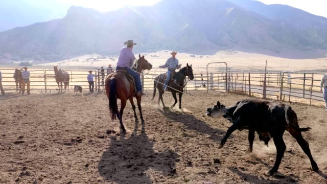 cowboy roping cow for branding - rancher stock videos and b-roll footage