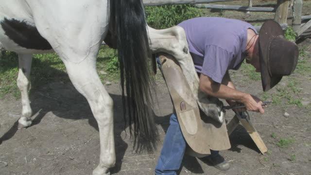 Cowboy shoeing a horse