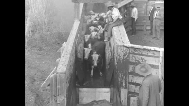 vídeos de stock e filmes b-roll de a cowboy sits atop a fence as cattle balk and jump into cattle dip / note exact month/day not known - inseticida