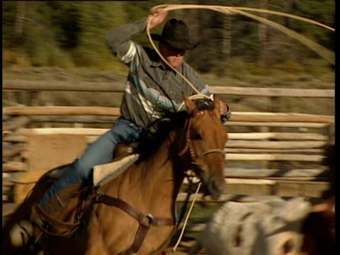 stockvideo's en b-roll-footage met cowboy wearing stetson on galloping horse catches cow with lasso inside corral - jeans