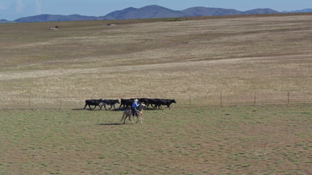 cowboy wrangling cattle on ranch - aerial view - herding stock videos & royalty-free footage