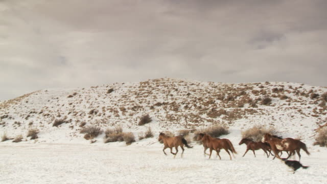 vídeos de stock, filmes e b-roll de slo mo ws pan cowboys and cowgirl herding horses in snowy landscape / shell, wyoming, usa - cão pastor
