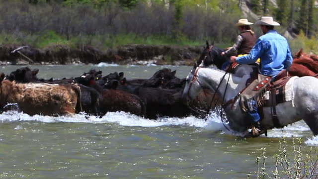 Cowboys and Cowgirl on horseback herd cattle across river