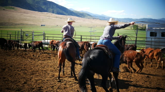 cowboys and cowgirls using lasso on the ranch and branidng calf in usa - ranch stock videos & royalty-free footage