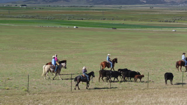 cowboys and cowgirls wrangling cattle - aerial view - herding cattle stock videos & royalty-free footage
