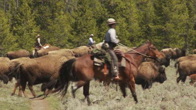 cowboys herd bison across a sagebrush field. - american bison stock videos & royalty-free footage