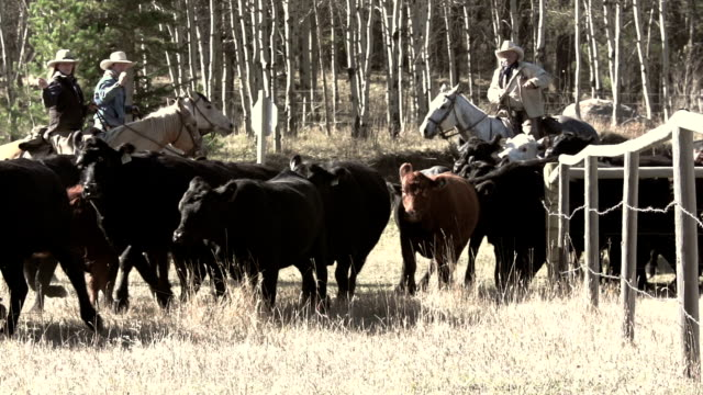 Cowboys herding and counting cattle on yearly roundup